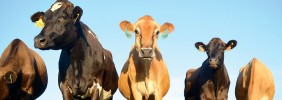 Why I Am Not a Vegetarian: Moral Value Comes from Cooperation, Not Sentience